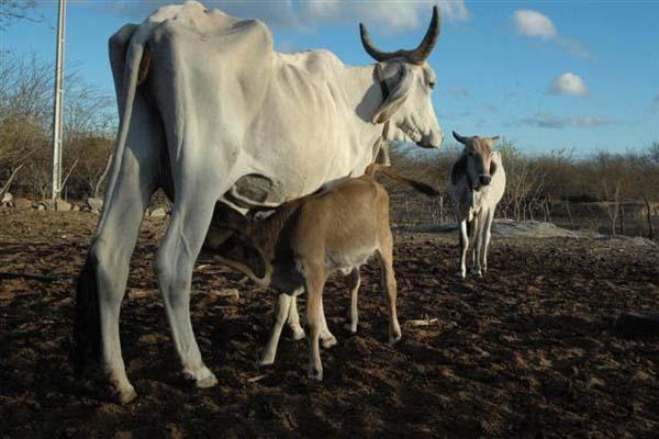 No semiárido, a forte estiagem registrada causou perdas expressivas na pecuária e na agricultura, em torno de 80%