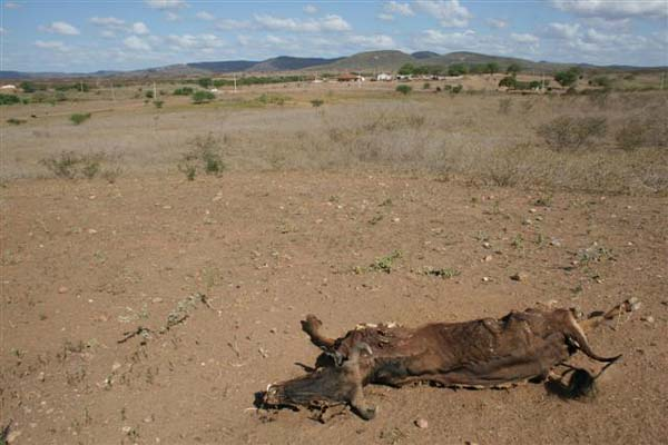 O rebanho está sendo duramente atingido pelos efeitos da seca