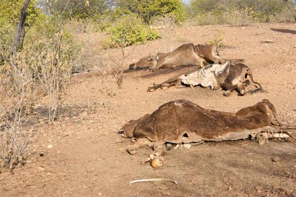 São José do Seridó em maio - No assentamento Seridó, trinta e dois animais tinham morrido até maio deste ano, segundo Francisco das Chagas dos Santos, presidente da Associação do Assentamento.