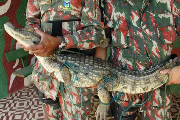 Jacaré foi capturado pela Polícia Ambiental, em Acari