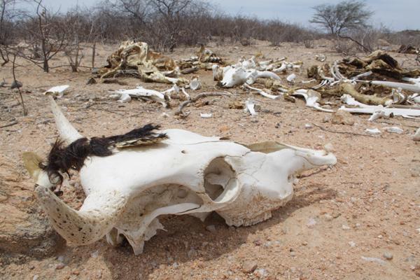 Seca do ano passado matou grande parte dos mais de 1 milhão de animais do rebanho bovino do Rio Grande do Norte e gerou prejuízos estimados em R$ 1 bilhão