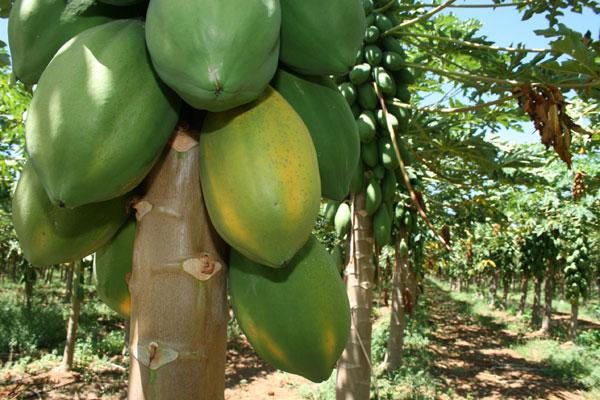 O mamão é um dos produtos cultivados na Maísa, entre os municípios de Mossoró e Baraúna