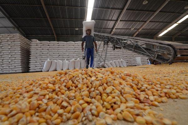 Armazém da Conab no Planalto: Milho é vendido por preços abaixo do mercado aos criadores, mas o estoque está reduzido