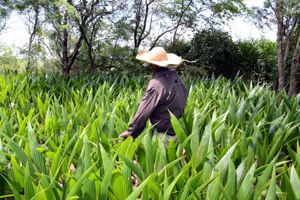 Mudas de coqueiros em assentamento do RN: expectativa é extrair óleo da palma, o dendê, para produção de biocombustível