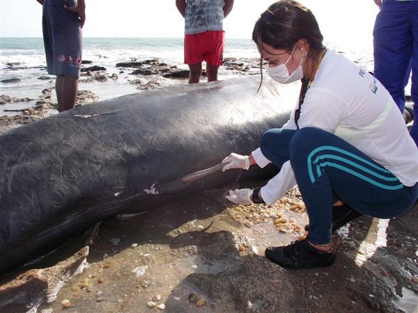 Biológos realizam exames para conhecer a causa das mortes de cinco baleias