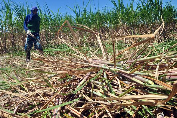 A seca afetou a produtividade e obrigará os produtores a investir na formação de novos canaviais