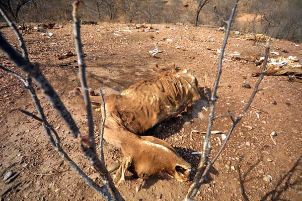Perdas calculadas pelo IBGE computam animais mortos e também os que foram vendidos pelos criadores para abate, por exemplo