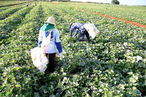 RN teve a maior produção de melão do país em 2012