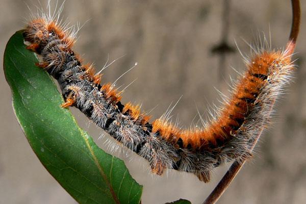 Família Megalopygida inclui mais de 200 espécies, entre elas a chamada lagarta-de-fogo muito comum em todas as regiões do Brasil