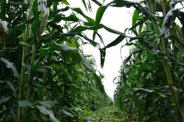 A plantação de milho é uma das atingidas: Mais de 30 culturas, porém, podem sofrer danos