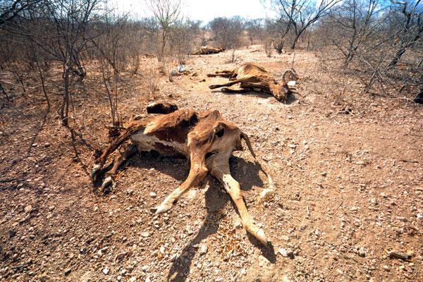Dois anos seguidos de seca reduziram rebanho pela metade