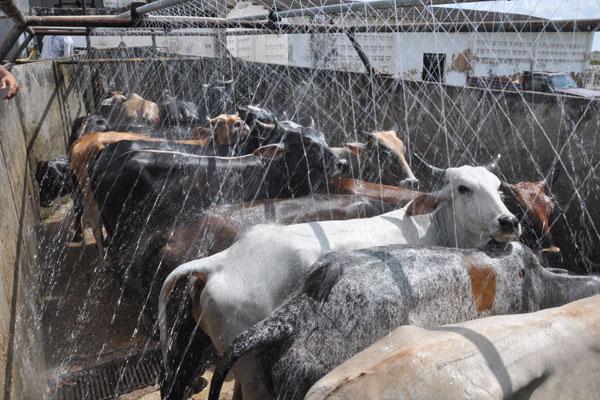 O abate de bovinos subiu 4,4% sobre os três meses anteriores e 10,7% ante igual período de 2012