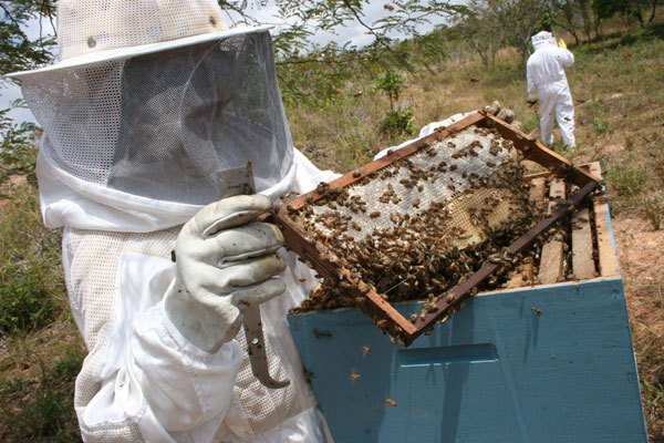 Especialistas buscam alternativas para manter as abelhas longe do veneno usado nas plantações