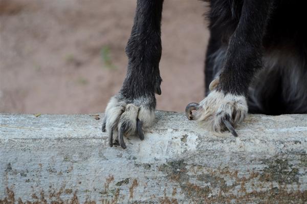 O cachorro, debilitado, com unhas enormes, repleto de feridas e magro, foi deixado no Centro de Zoonoses