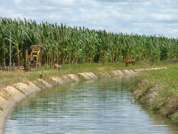 Plantação de bananas no RN: a Del Monte vai reduzir em 38% a área destinada ao cultivo da fruta, no Rio Grande do Norte e Ceará