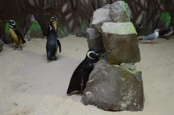 O Aquário Natal recebeu quatro pinguins que vieram do litoral de São Paulo para morar no local