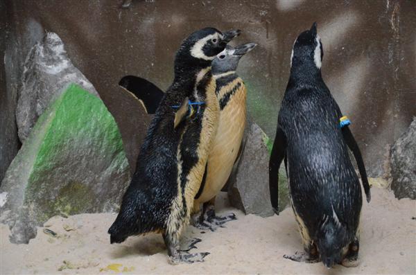 Os pinguins são da espécie Magalhães e têm 50 centímetros de altura