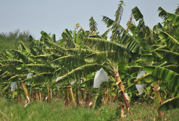 Plantada em mais de 130 países, banana é a oitava cultura alimentar mais importante do mundo