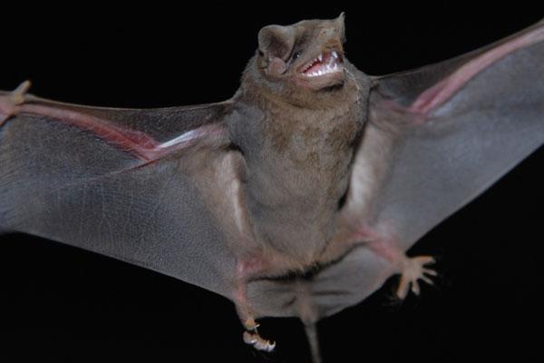 Morcego é considerado suspeito de estar infectado ao ser encontrado em horário e local não habitual
