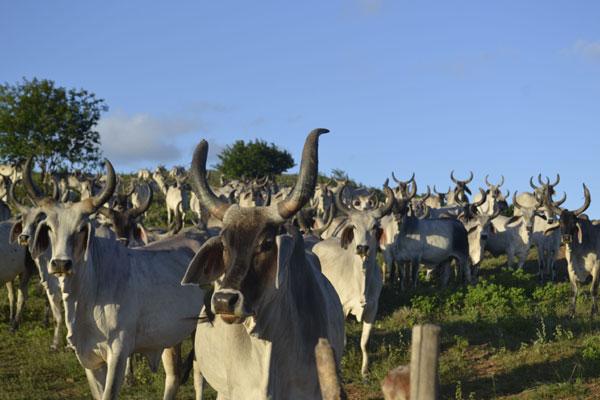 Animais da raça Guzerá serão compradas pelo governo do Senegal para melhorar geneticamente o rebanho do país