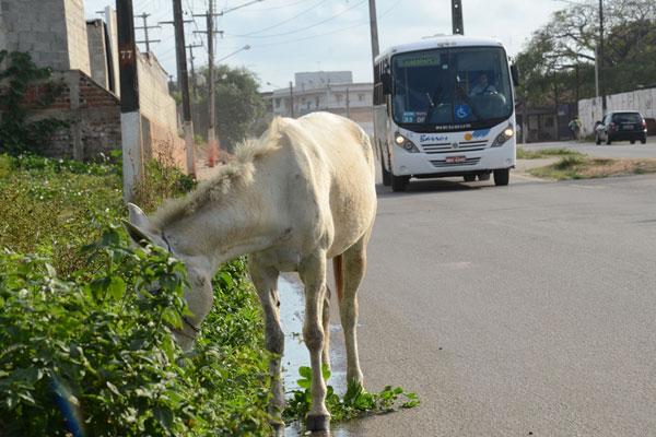 A circulação de jumentos nas estradas do RN é muito comum