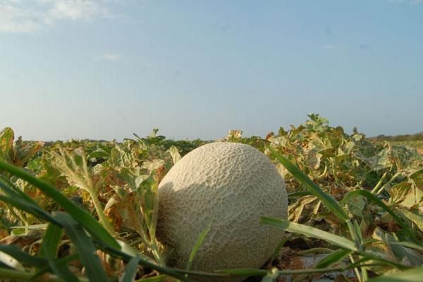 Exportações de melão devem cair 15% em 2014, segundo Coex