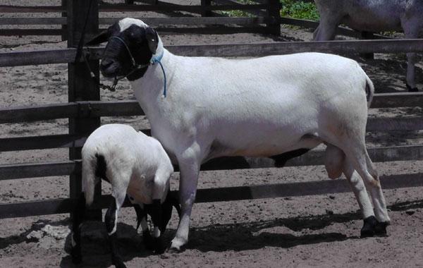 Animal é apontado como resistente às condições do semiárido