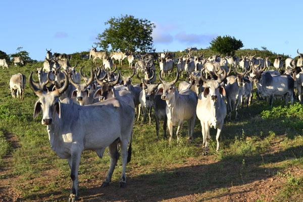 Animais estão numa fazenda em Monte Alegre, à espera do embarque: Negócio fechado em julho