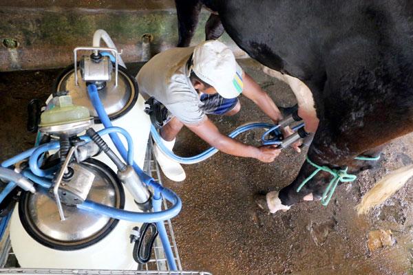 Ordenha mecânica de vaca no RN: Programa quer incentivar melhoramento genético no estado