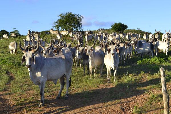 No país, 97,8% do rebanho bovino e bubalino foi vacinado contra febre aftosa. O maior índice foi atingido no Mato Grosso: 99,61%