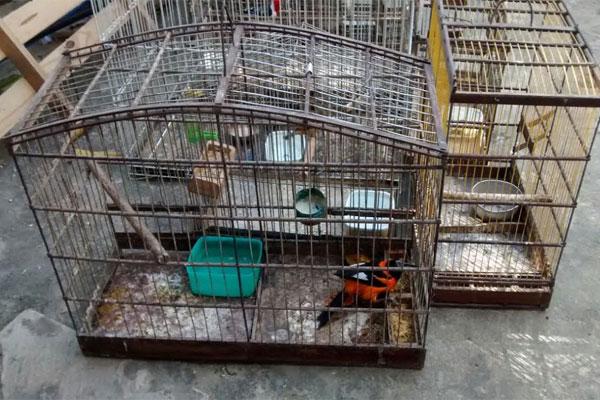 Além de gaiolas, alçapões e transportadores, quatorze pássaros silvestres foram apreendidos