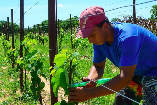 Agricultores da Agrovila Paulo Freire são os primeiros a cultivar a variedade: Perspectivas