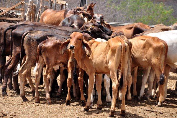 Governo do Estado quer começar a distribuição da forragem para o gado a partir de agosto
