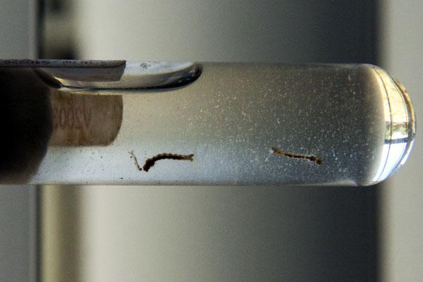 Comprimido libera um microorganismo que intoxica a larva