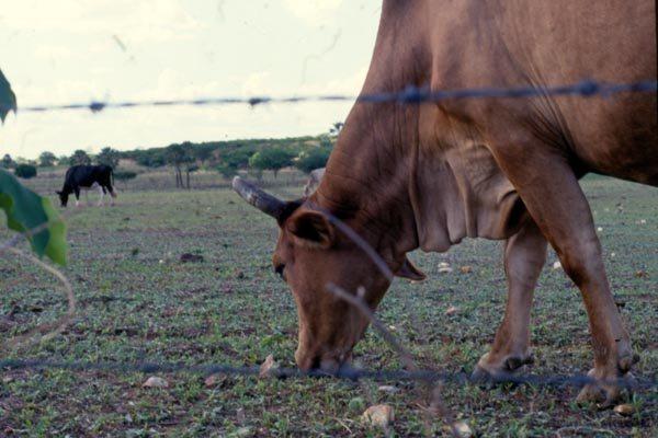 No Rio Grande do Norte, o índice de vacinação do rebanho ficou em 92,95%, abaixo do nacional