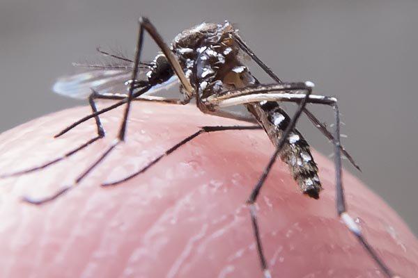 O Aedes transmite Zika, dengue, chikungunya e febre-amarela