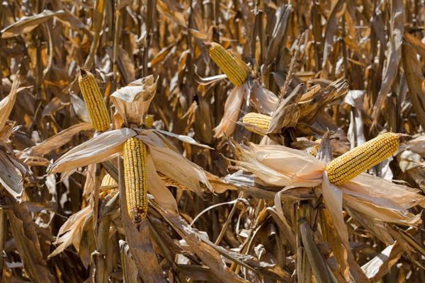 Produção de milho no Brasil será 2,5% menor que o estimado em agosto