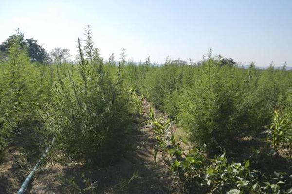 Remédios à base de Cannabis sativa (maconha) são indicados para o tratamento de ELA