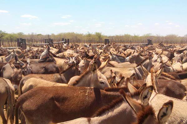 Empresa já tem fazenda, no município de Felipe Guerra, com cerca de 500 jumentos e pretende incentivar pequenos criadores