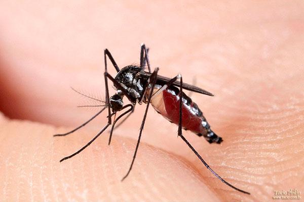 A Zika também é transmitida pelo mosquito Aedes Aegypt