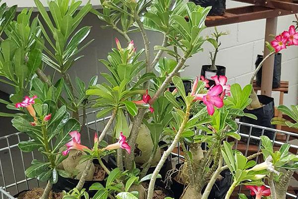 Feira apresenta várias espécies da flor-do-deserto