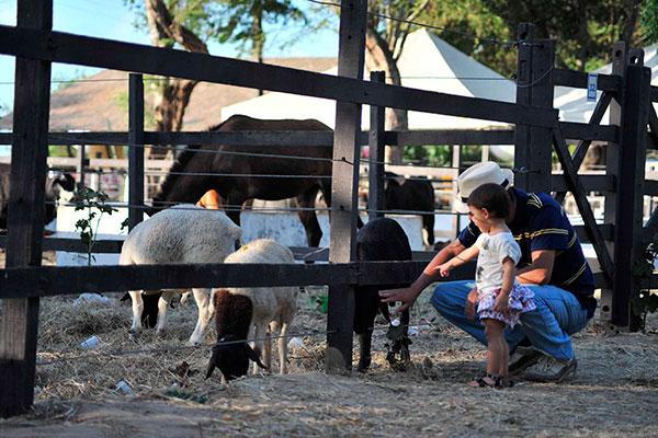 A Fazendinha da Festa do Boi será permanente, com ovelhas, pintinhos, vacas, cabras e bodes