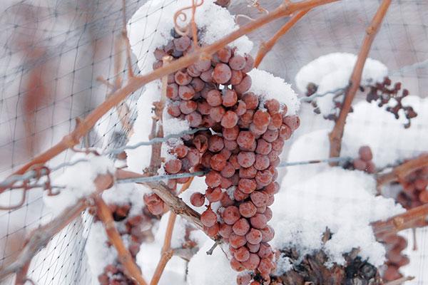 """Nas regiões mais frias do planeta, as uvas podem ser colhidas congeladas, em pleno inverno, gerando o raro """"Vinho do Gelo"""""""