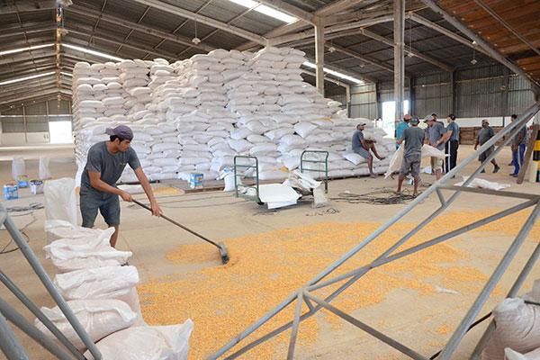 De acordo com a Conab, Nordeste sofrerá mais com o fim do subsídio ao milho, por ser mais distante dos centros produtores