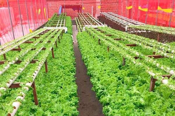 O serviço oferece um cardápio de 150 itens, alguns são produção própria, como as folhas e o tomate grape