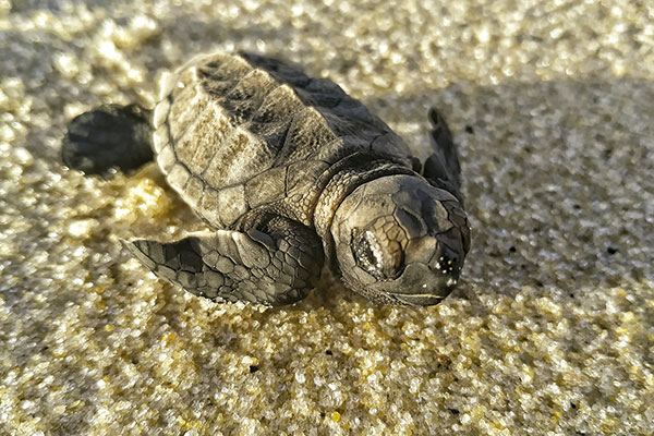 Em Búzios, a ong Oceânica realiza exposição sobre o berçário de tartarugas-de-pente