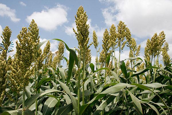 Sorgo é um dos grãos produzidos no Rio Grande do Norte. Chuvas contribuíram para produção