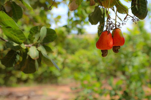 A partir dos cajus vários doces são produzidos e comercializados na região e fora dela