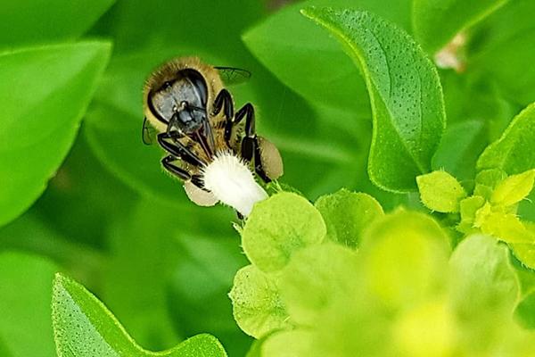 Abelha melífera (apis mellifera) , mais comum no sertão nordestino, tem uma relação de amor com a flor do manjericão
