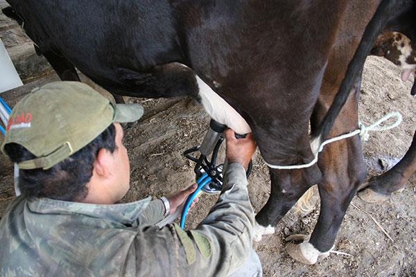 Conforme dados da Secretaria de Estado da Agricultura, além da produção de leite, o rebanho potiguar aumentou nos últimos anos e atinge quase 1 milhão de cabeças